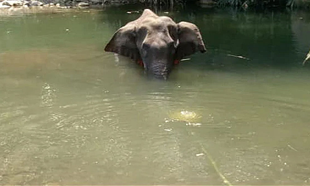 Pregnant Elephant Dies After Eating Pineapple stuffed with crackers in Kerala !!!